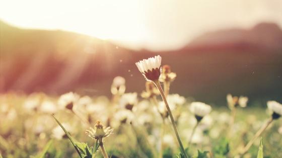 magical-daisy